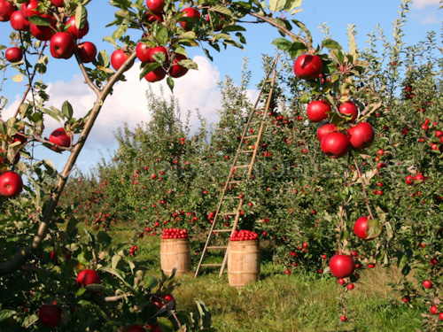 Novelty Virtual Background for Zoom in apple orchard with ladder and wooden barrels