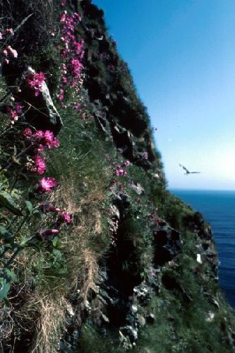 Red Campion on the face of a cliff