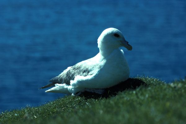 Fulmar sitting on the grass