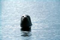 A Common Seal stretches up to get a better look.