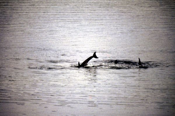 Risso's Dolphins playing around