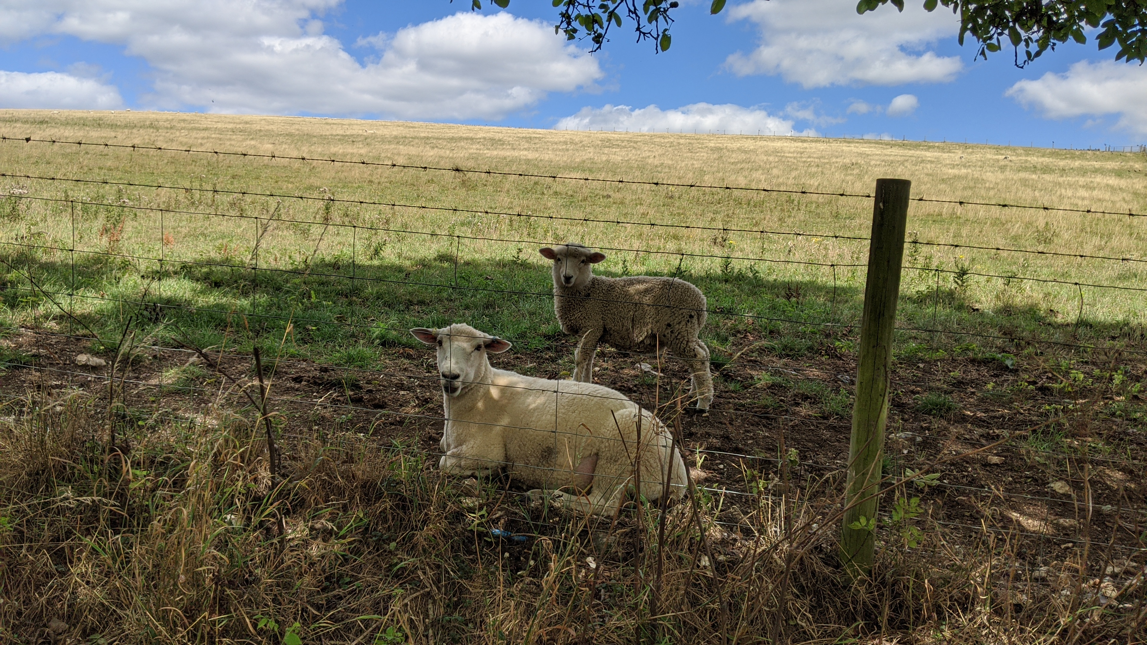 Two sheep laying under a tree behind some wire fence.