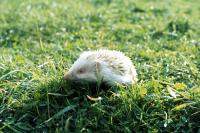 The albino hedgehog sits and keeps watch