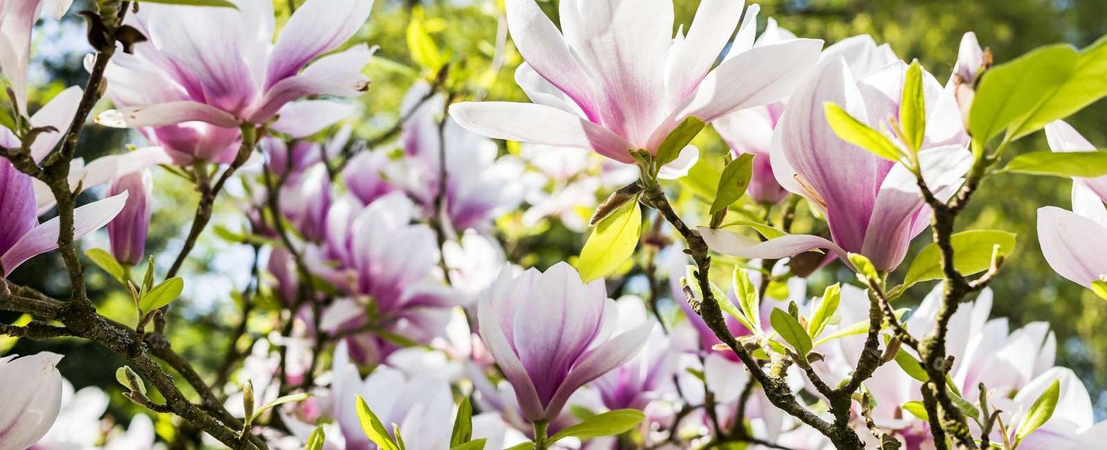 Informatii utile despre Magnolia