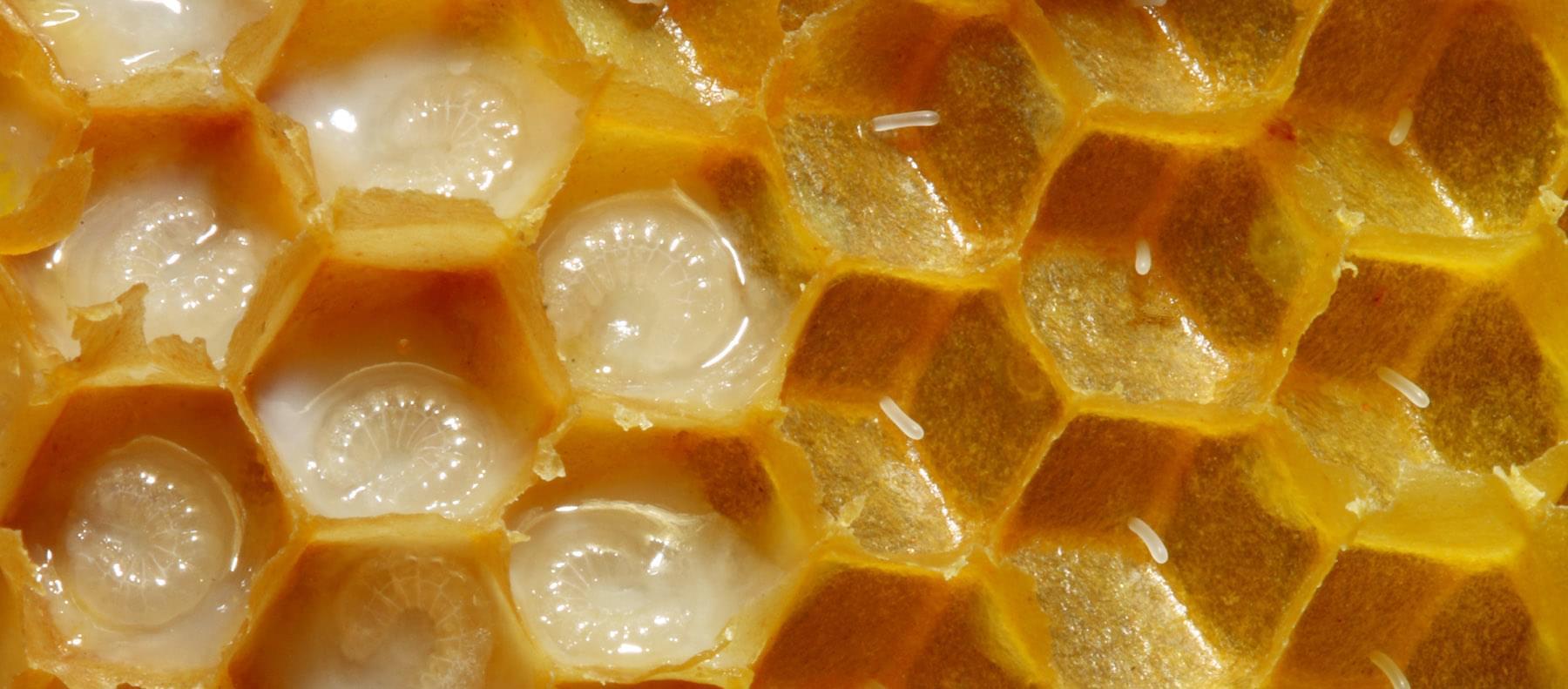 Справа видны яйца, только что отложенные маткой (засев). Слева — личинки вмолочке (непечатный расплод). Фото: Waugsberg / ru.wikipedia.org
