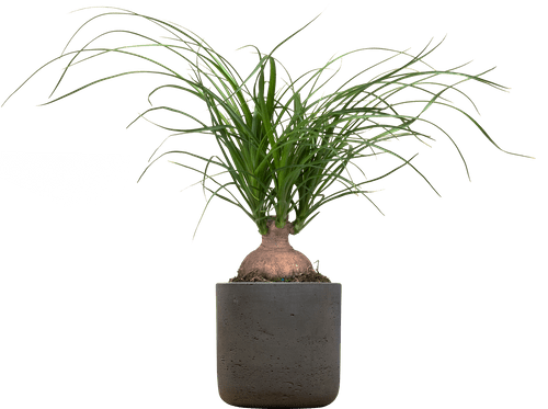 Small Ponytail Palm (Beaucarnea recurvata ) - from £16