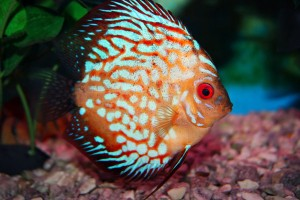 How to Find Out Discus Fish is Male or Female