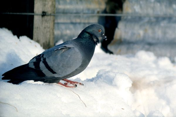 A Rock Dove stands on a snowy ledge
