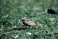 A Reed Bunting looks for food