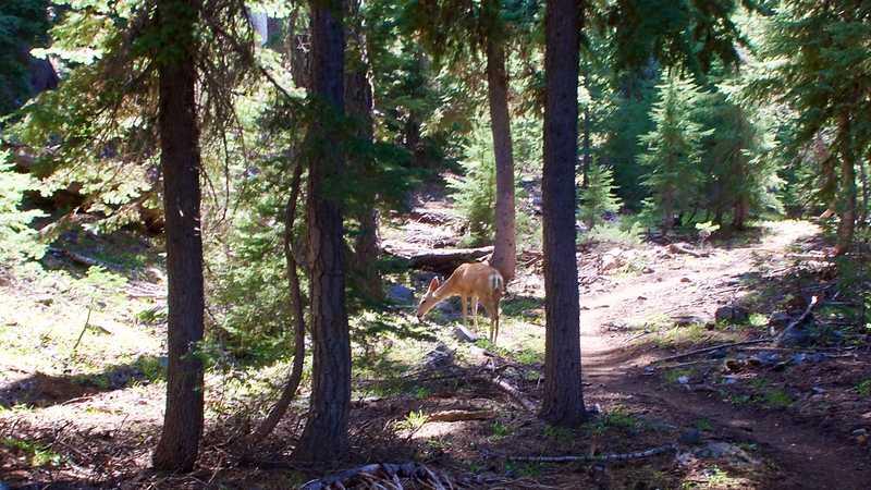 A mule deer feeds near the PCT