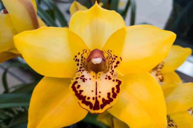 A bright yellow orchid flower with exceptionally smooth petals. the innermost petals are covered in deep red-purple spots.