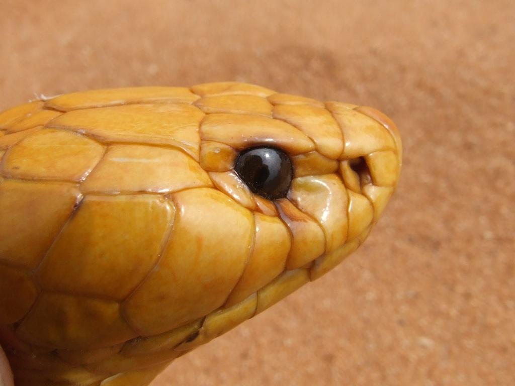 Primer plano de una cobra.