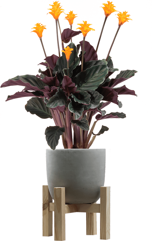 Eternal Flame (Goeppertia crocata 'Tassmania' ) - from £25