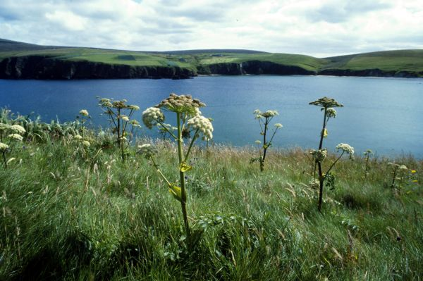 Wild Angelica growing in a field of grass