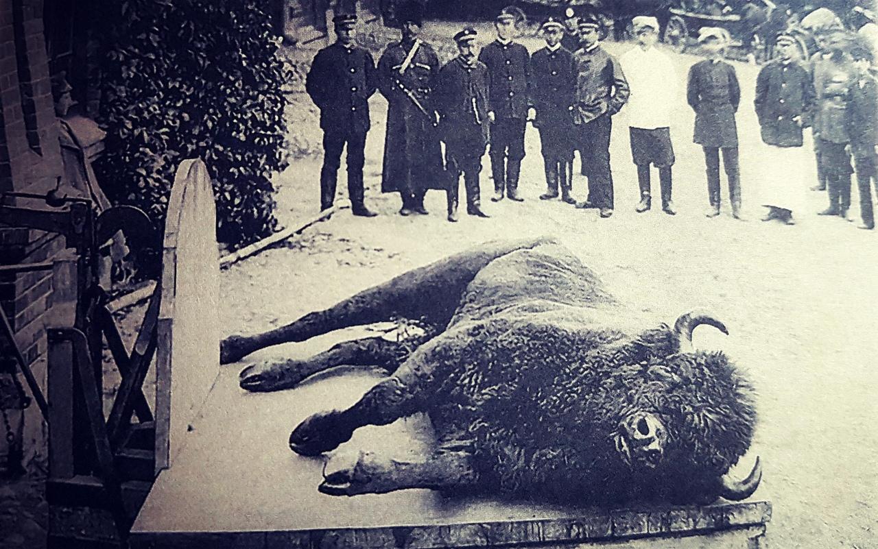 Взвешивание убитого зубра. 1903 г. Из книги 'Царские охоты в Беловежской пуще. Страницы истории'