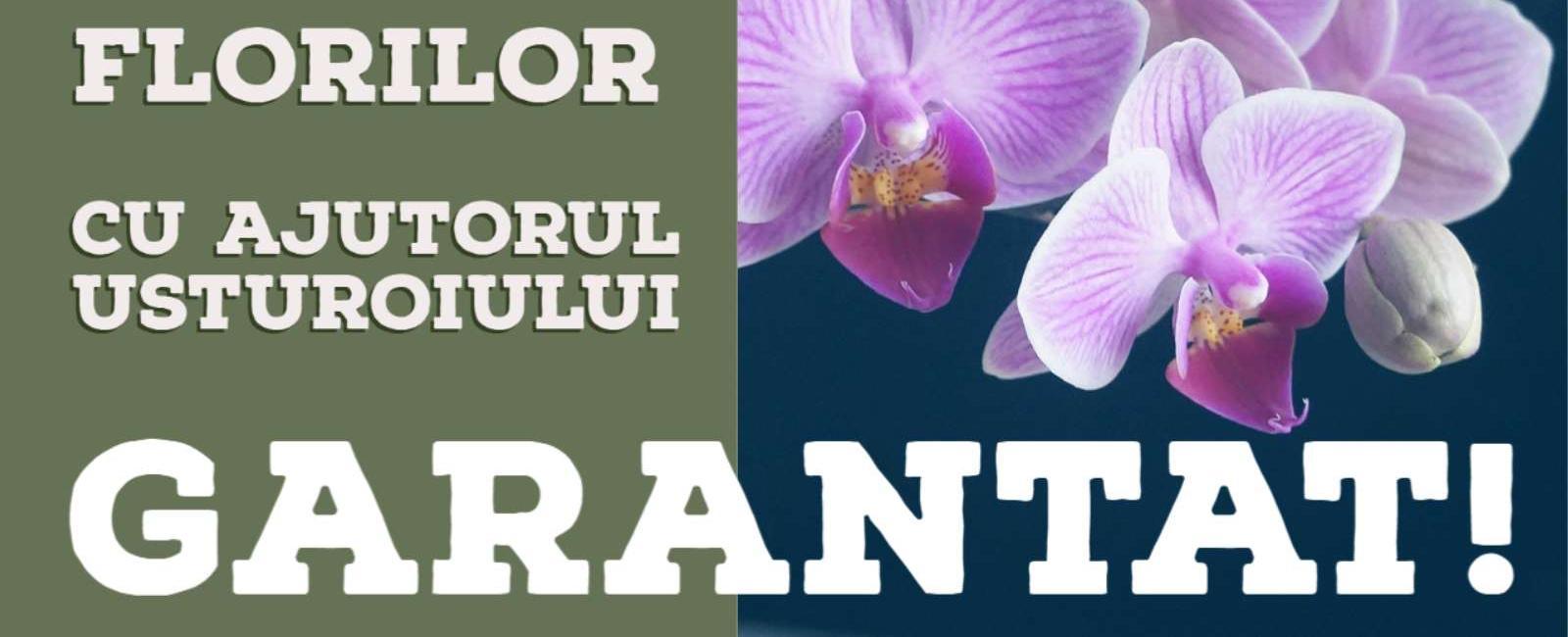 Cum provocăm înflorirea orhideei cu ajutorul Usturoiului