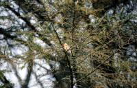 A Bullfinch among the trees at Voe