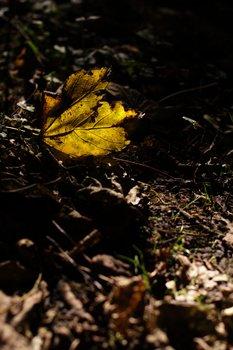 Fallen Leaf 1636