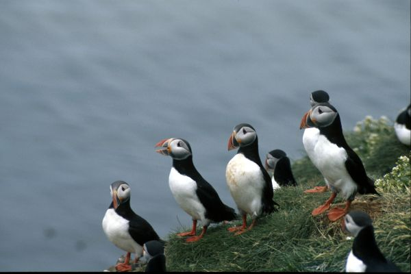 A group of Puffins  on a sea stack