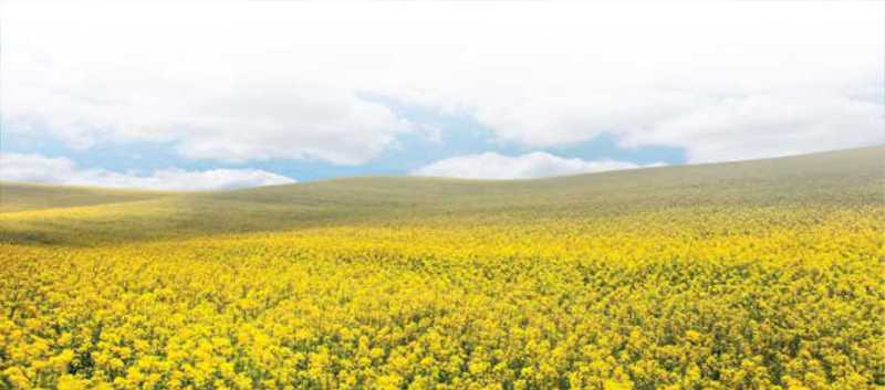 Yellow Saskatchewan canola field