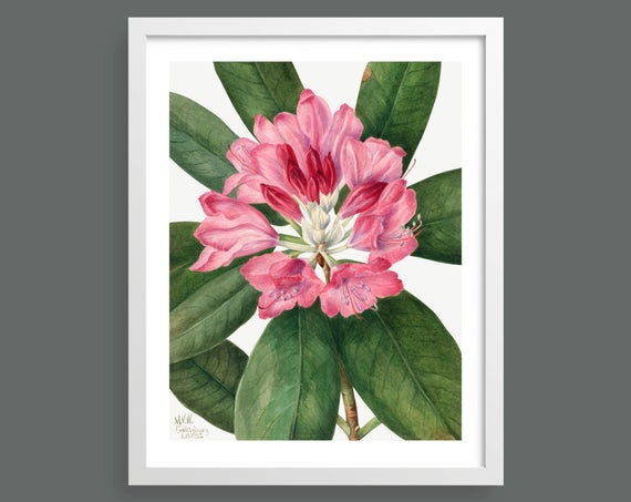 Mountain Rosebay (Rhododendron Catawbiense)  by Mary Vaux Walcott