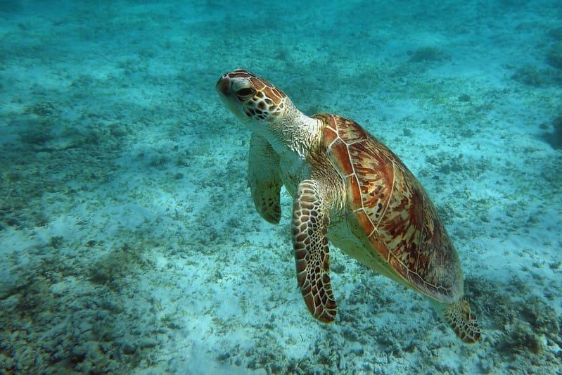 Tartarugas-marinhas: espécies e preservação