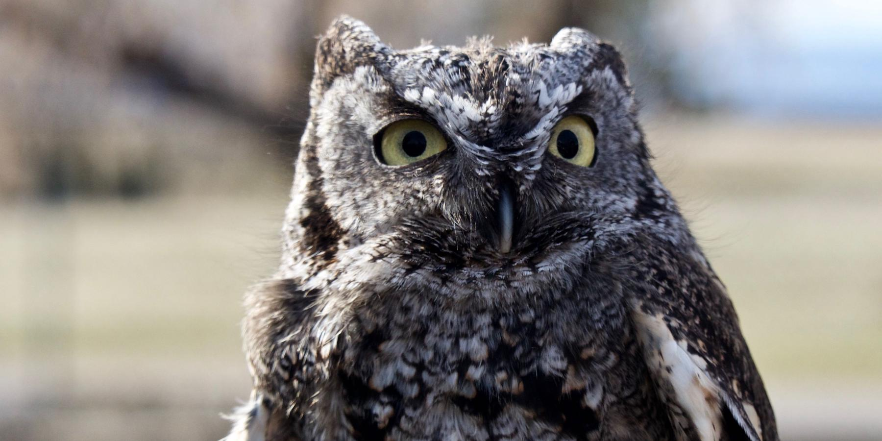 A close-up of a screech owl.