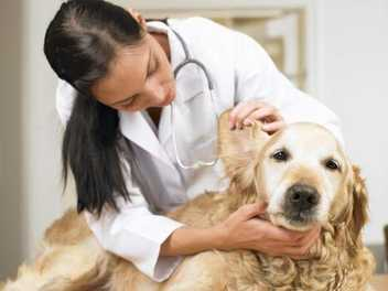 Ask a Vet: Cleaning Your Dog's Ears