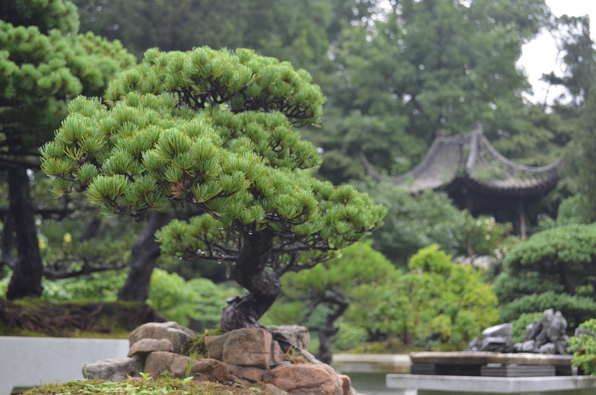 Bonsais findet man in allen Gärten.