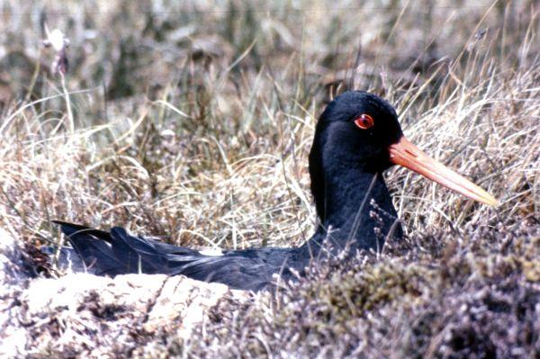 An Oystercatcher sitting on a nest amongst the grass