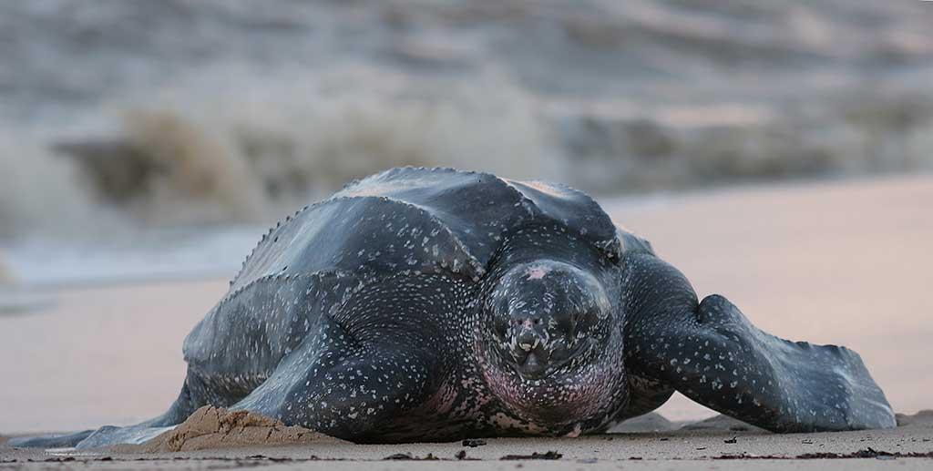 The leatherback sea turtle