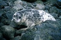 A young Grey Seal.