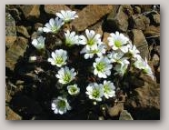 Edmondston's Chickweed, Unst. Copyright Wendy Dickson  » Click to zoom ->