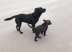 Onze labradors, Brownie en Cani