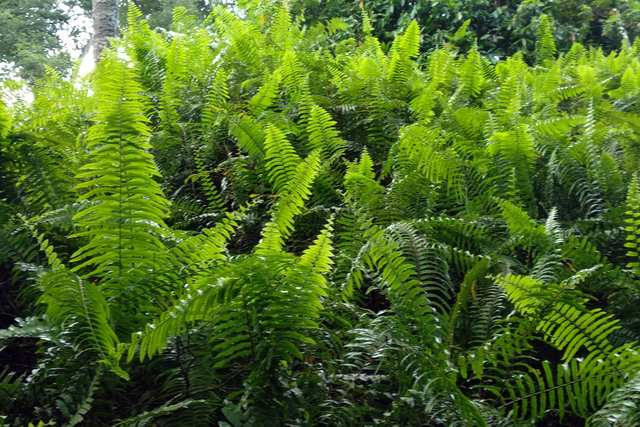 Ferns Eliminate Air Pollutants - This ancient plant offers a superior pollutants removal efficiency. A must have for an healthy home.