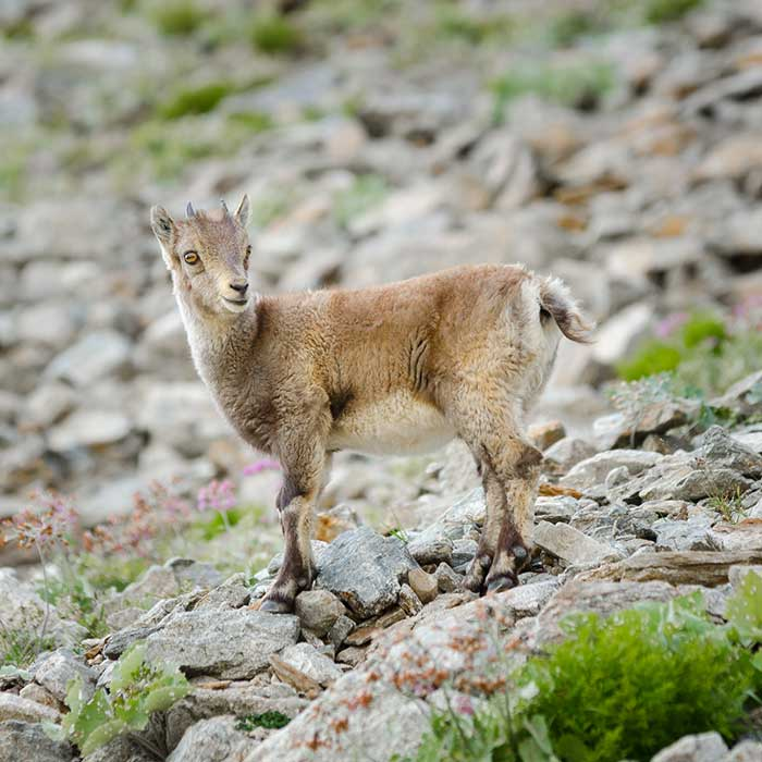 Juvenile Alpine ibex, Mercantour National Park, France