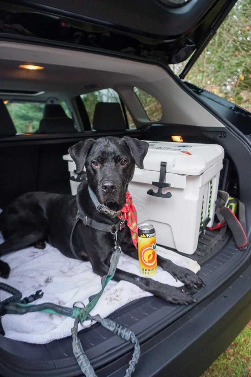 A black labrador sits in the open trunk of an SUV. next to him is a cooler, and between his paws is a can of Pyramid Apricot Ale