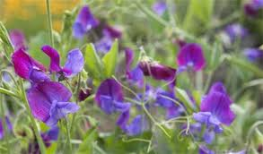 A sweetpea plant, flowering with purple and voilet flowers