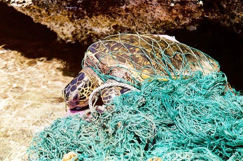 Tartaruga-verde é encontrada morta e enrolada em uma rede de pesca abandonada, na praia.