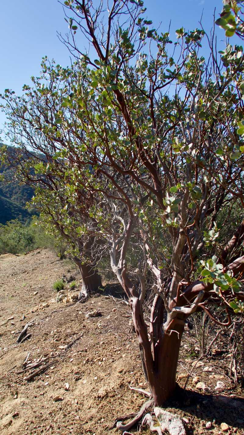 manzanita shrubs