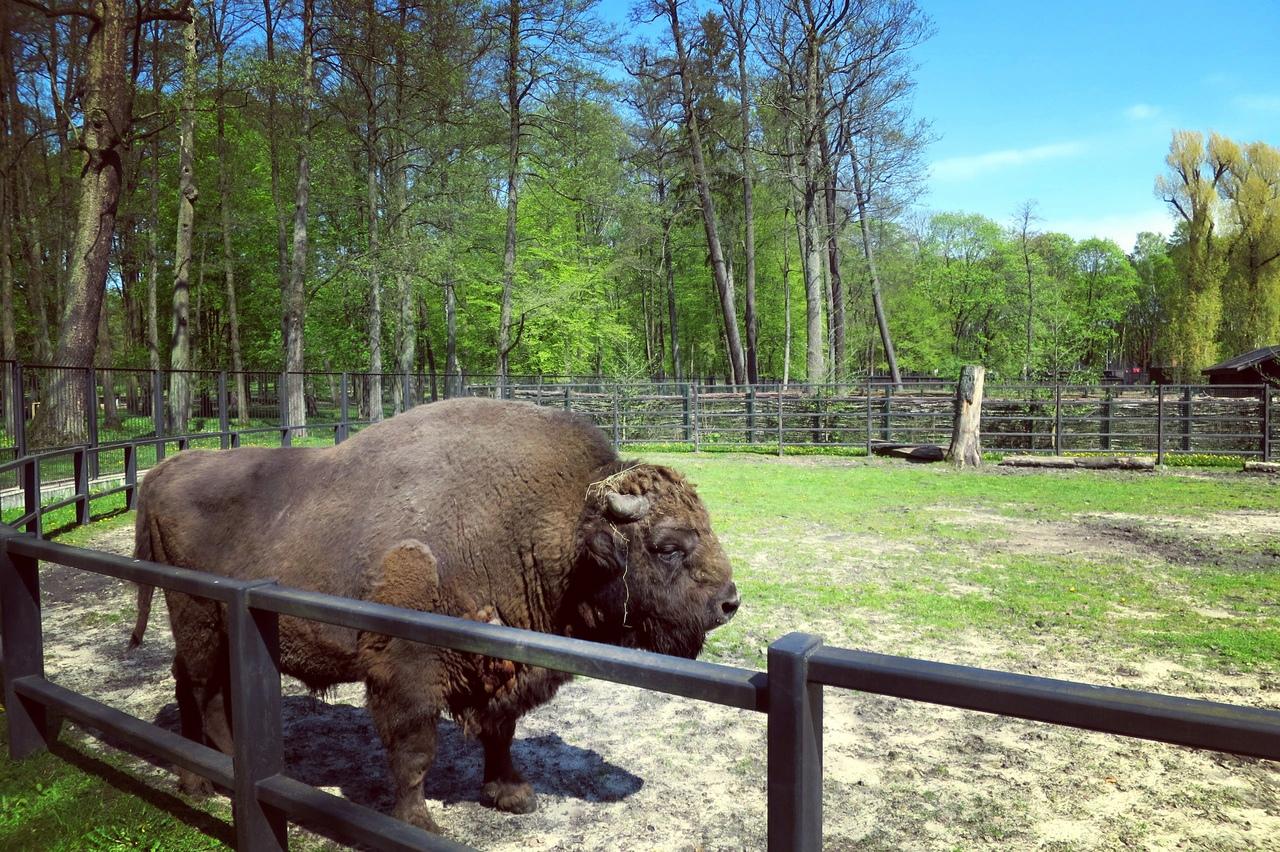 Зубр в зоопарке Белостока. Весна 2017 г. Фото А.Басак