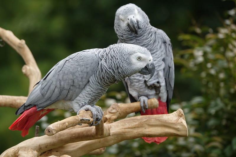 Papagaio-cinzento. A mesma espécie que o papagaio Alex, que foi um dos primeiros para estudar a inteligência das aves. Conseguia contar até seis e conhecia mais de 100 palavras para diferentes incluindo objetos, ações e cores