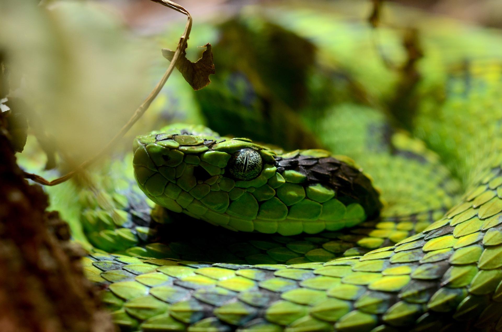 Nauyaca verde y negra