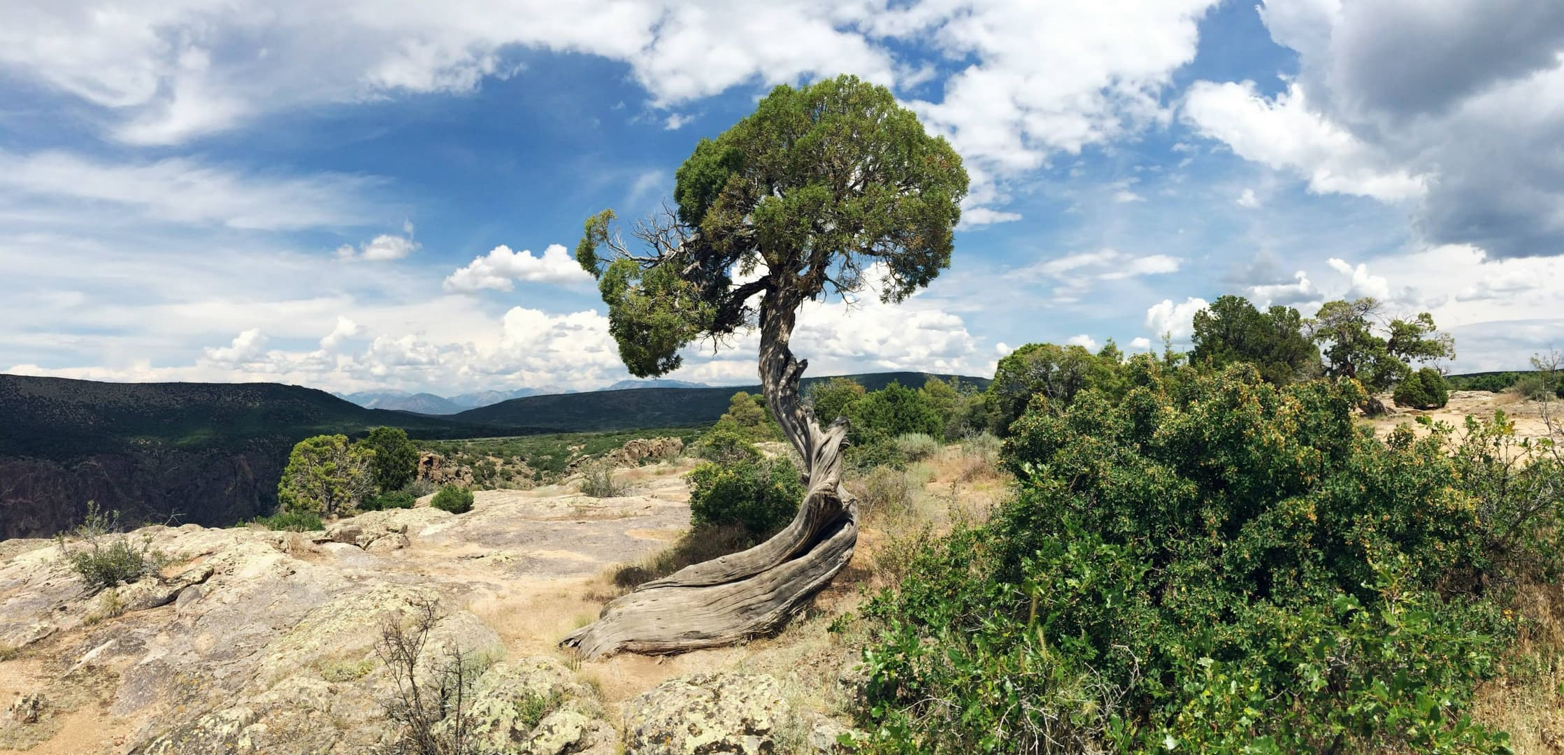 A lone juniper tree growing on the rim of the Black Canyon of the Gunnison. The tree's trunk has grown in a distinctive spiral, with all of its branches concentrated in a hemispherical crown.