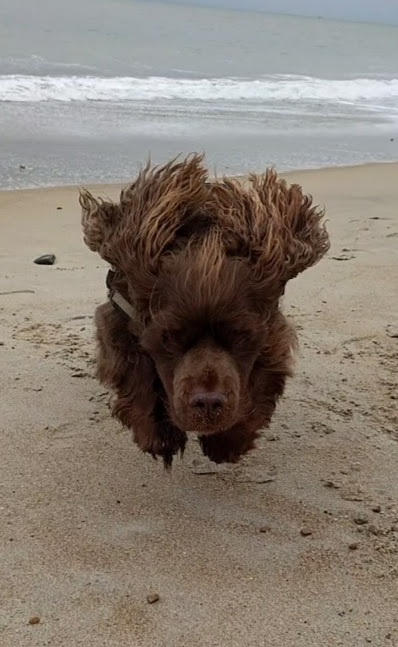 Sussex Spaniel jumping on the sand at Shoreham Beach.