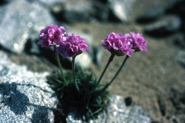 Thrift grows from a crack in a rock