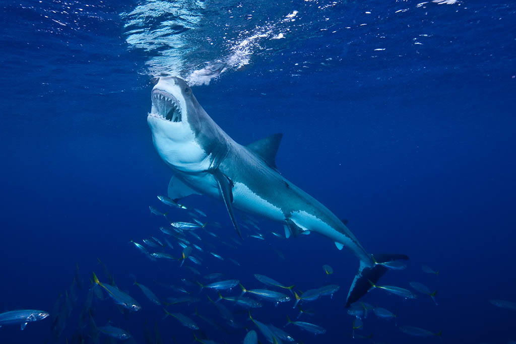 Great White Shark f ending at Guadalupe Island Mexico