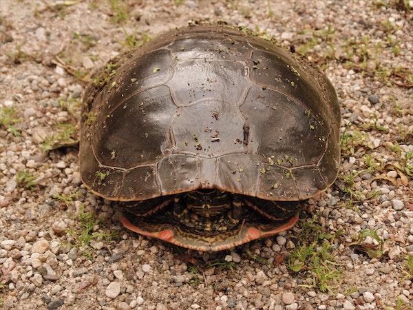 tortuga metida en caparazón de frente