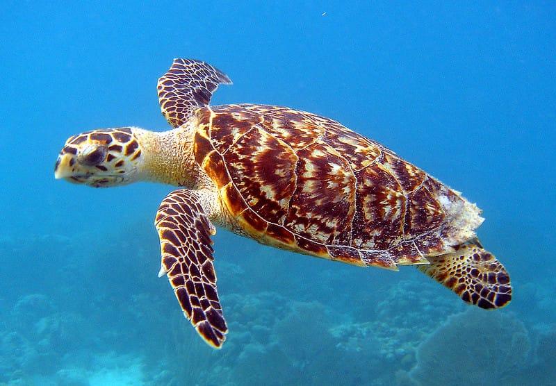 Tartaruga de pente nadando para a esquerda. Nota-se a garra na nadadeira esquerda e a borda posterior de seu casco serrilhada.