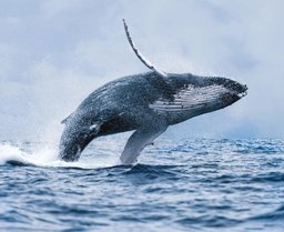 Whales are beautiful animals, they have a big heart, literally and figuratively